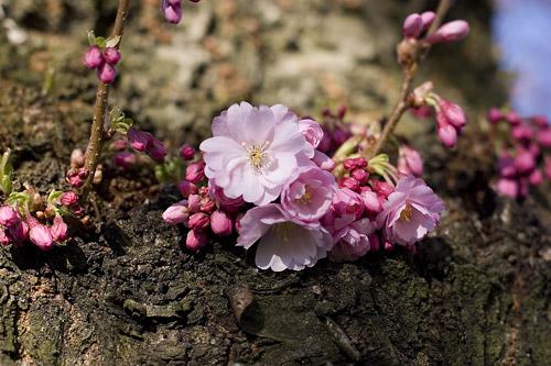 Zierkirschenblüte
